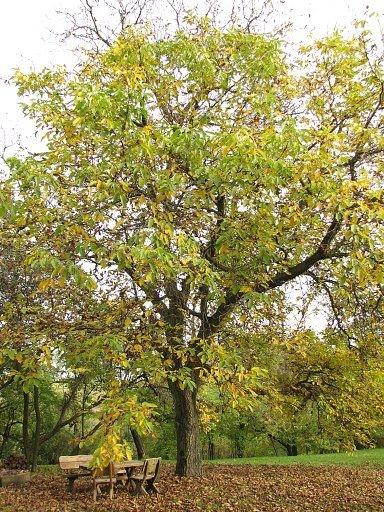 Drzewo orzechowe